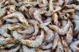 بوشهر بیشترین و کنگان کمترین صید میگو در استان داشته است
